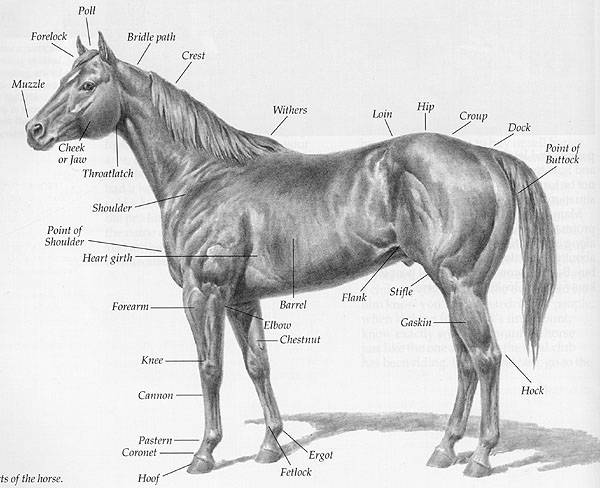 External anatomy of a horse